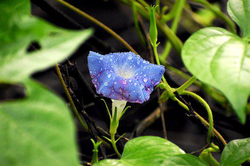 Bellflower, Flower, Dew, Dewdrops, Blue Flower, Petals