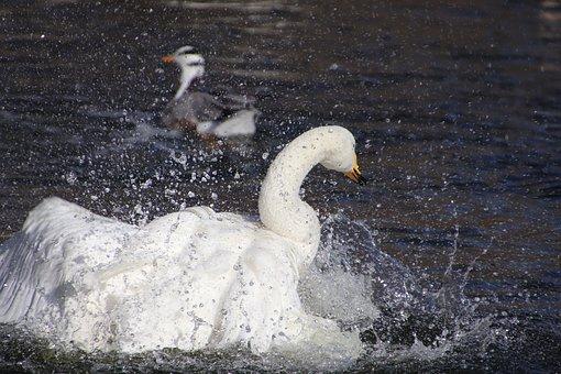 Swan, White Swan, Bar Head Goose, Goose, Birds