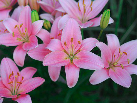 Lily, Flower, Summer, Bloom, Nature, Flora, Plant