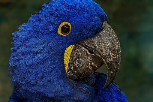 Blue Macaw, Parrot, Bird, Blauara, Hyacinth Macaw