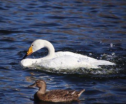 Swan, White Swan, Mallard, Duck, Birds, Water Birds
