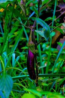 Eggplant, Herb, Fruit, Vegetable, Nature, Healthy