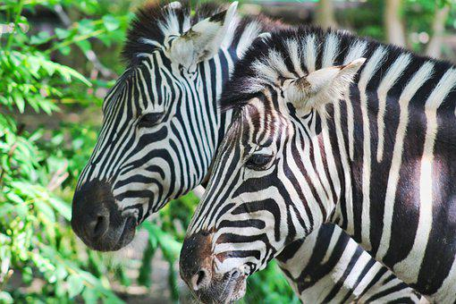 Zebras, Horses, Equines, Zoo, Safari, Nature, Stripes