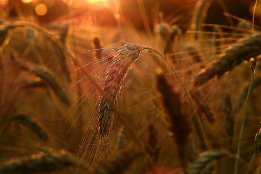 Wheat, Cereals, Field, Wheat Ears, Crop, Plants, Farm