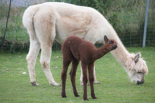 Alpaca, Cuddle, Cub, Wool, Animals, Farm Animal, Fluffy