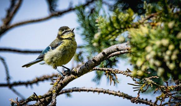 Bird, Blue Tit, Branch, Habitat, Tit, Animal, Plumage