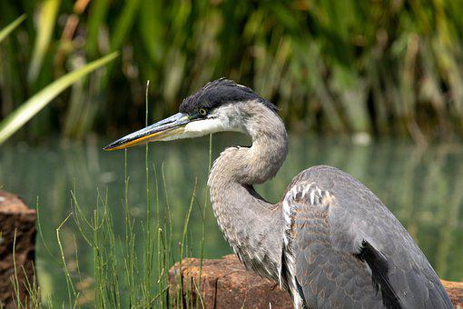 Great Blue Heron, Bird, Animal, Lake, Heron, Plumage