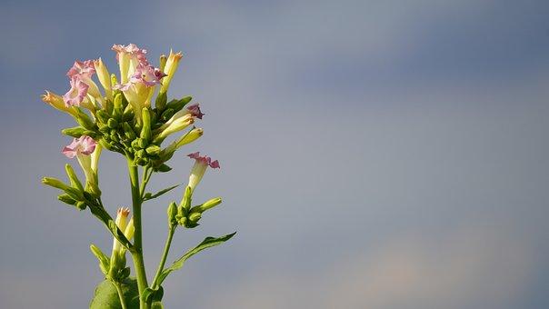 Tobacco Flower, Plant, Tobacco, Crop, Blossom, Bloom