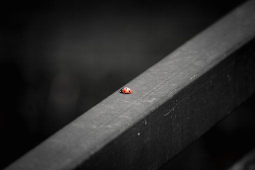 Ladybug, Red, Rail, Insect, Small