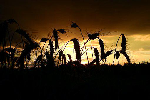 Cereal, Agriculture, Field, Silhouette, Landscape