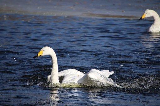 Swans, Birds, White Swans, Waterfowls, Water Birds