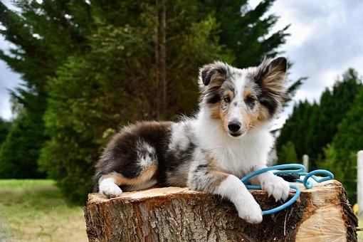 Shetland Sheepdog, Dog, Pet, Canine, Animal, Lying, Fur