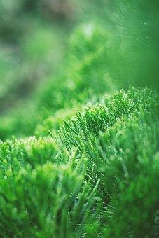Evergreen, Cupressus, Botany, Garden, Nature, Conifer
