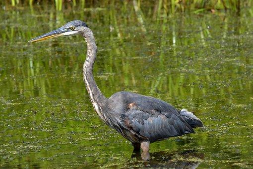 Great Blue Heron, Bird, Heron, Animal, Plumage