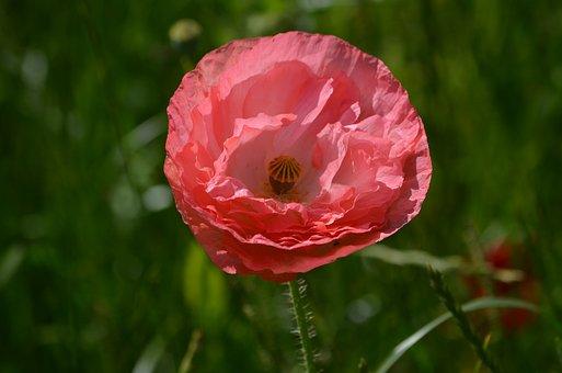 Flower, Poppy, Botany, Nature, Garden, Plant, Beauty