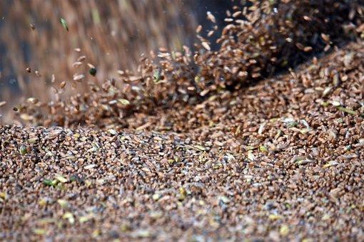 Seeds, Grains, Rye, Cereals, Agriculture, Harvest