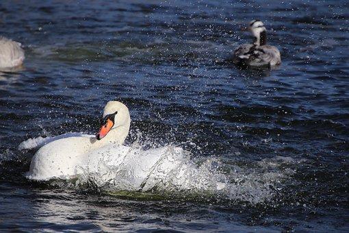 Swan, White Swan, Bar-headed Geese, Geese, Water Birds