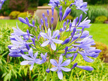 Lily Of The Nile, Flowers, Agapanthus, Blue Flowers