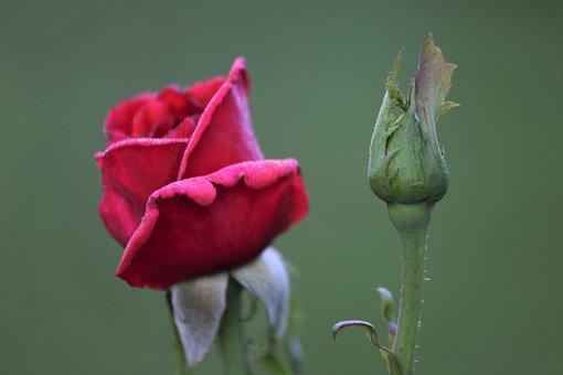 Rose, Bud, Flower, Red Rose, Red Flower, Red Petals