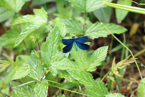 Dragonfly, Insect, Demoiselle, Wings, Dragonfly Wings