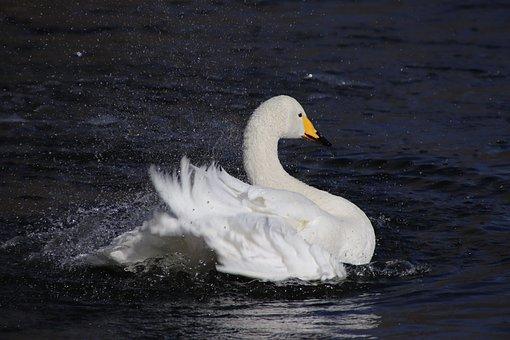 Swan, White Swan, Bird, Water Bird, Waterfowl, Feathers