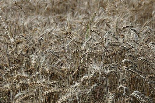 Wheat, Field, Cereals, Wheat Field, Barley, Crops