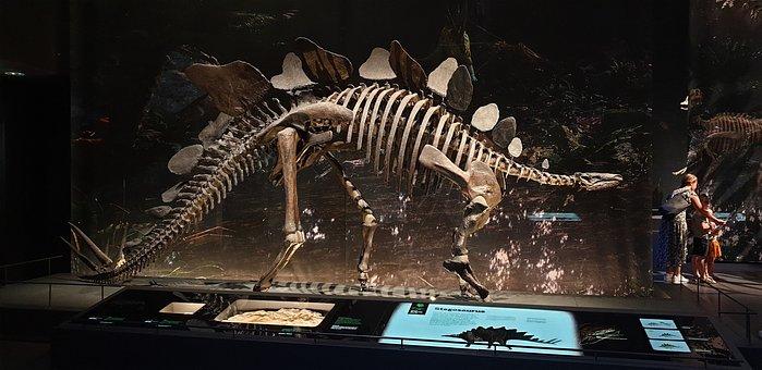 Stegosaurus, Skeleton, Dinosaur, Dino, Extinct, History