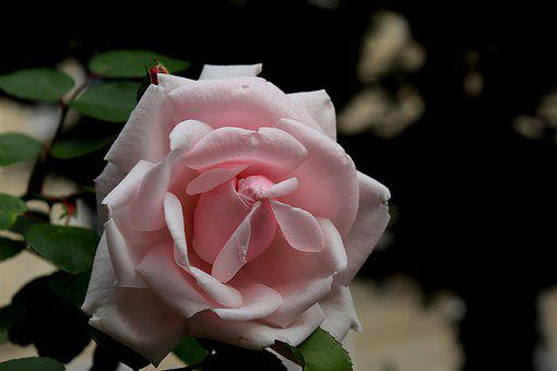Rose, Botany, Flower, Romantic, Beauty, Petals, Garden