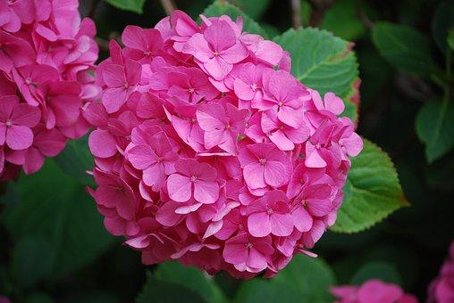 Hydrangea, Flowers, Pink Hydrangea, Petals, Pink Petals