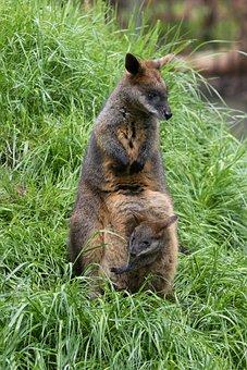 Wallaby, Swamp Wallaby, Joey, Zoo, Mother, Marsupial