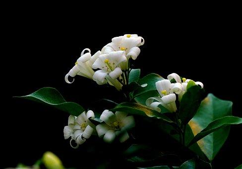 Orange Jasmines, Flowers, Murraya Paniculatas, Petals