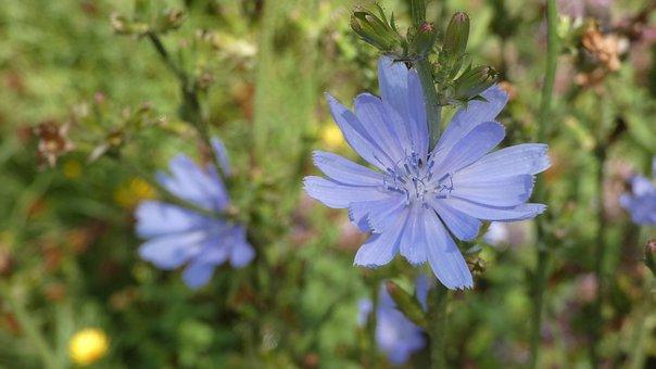 Chicory, Flowers, Blue Flowers, Petals, Blue Petals