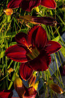 Daylily, Flower, Plant, Red Flower, Buds, Petals, Bloom