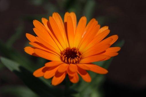 Marigold, Flower, Calendula, Orange Flower, Petals