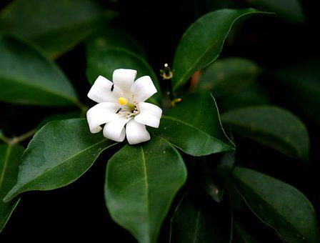 Murraya Paniculata, Flower, Orange Jasmine, Leaves