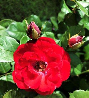 Rose, Flower, Buds, Red Rose, Rose Bloom, Petals