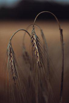 Wheat, Field, Nature, Evening, Agriculture, Grain