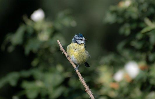 Eurasian Blue Tit, Bird, Perched, Tit, Animal, Feathers