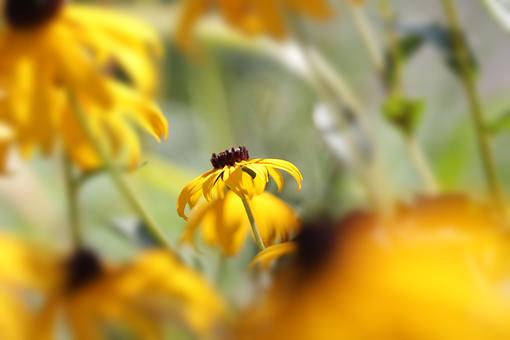 Coneflowers, Flowers, Yellow Flowers, Petals
