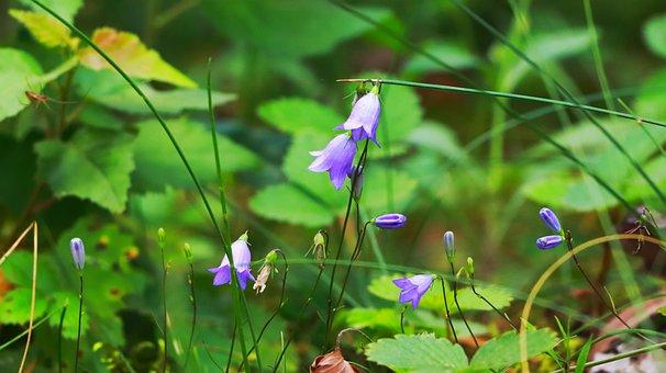 Bluebells, Flowers, Blue Flowers, Petals, Blue Petals