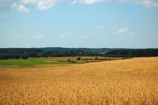 Wheat, Field, Wheat Field, Sky, Clouds, Barley, Crops