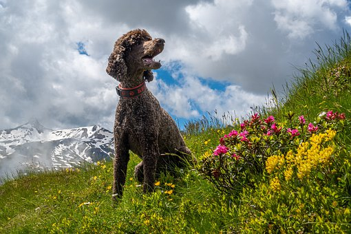 Dog, Poodle, Meadow, Mountains, Clouds, Flowers, Nature