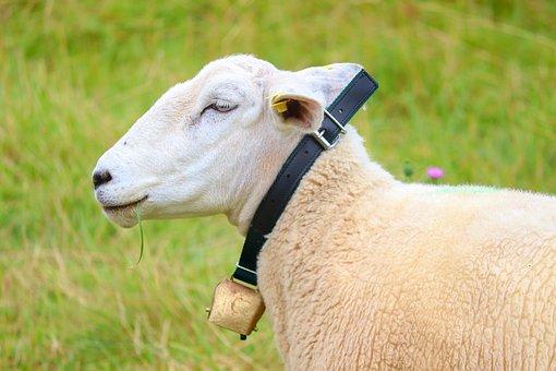 The Sheep, Animal, Sheep, Collar, Bell Jar, Bells