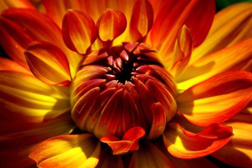 Dahlia, Flower, Plant, Blossom, Bloom, Flora, Nature