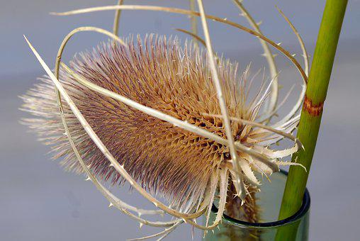 Thistle, Plant, Botany, Growth, Prickly, Flora