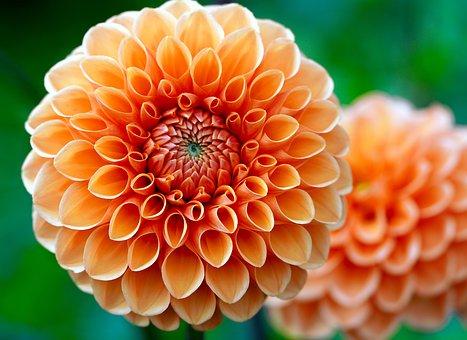 Dahlia, Flower, Orange Dahlia, Petals, Orange Petals