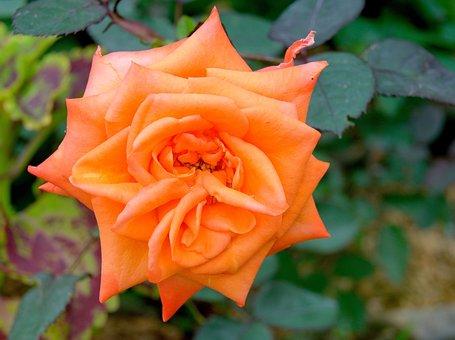 Rose, Flower, Orange Rose, Rose Bloom, Petals