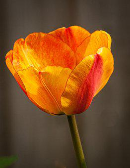 Tulip, Flower, Orange Tulip, Orange Flower, Petals
