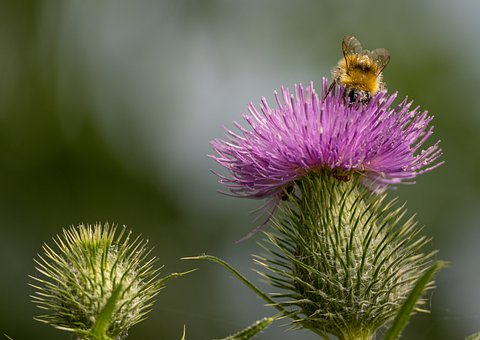 Thistle, Bee, Prickly, Plant, Blossom, Bloom