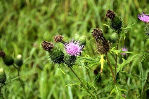 Thistles, Flowers, Purple Flowers, Bloom, Blossom